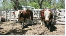 El viernes se entregan $ 820.000 del fondo rotatorio a productores bovinos